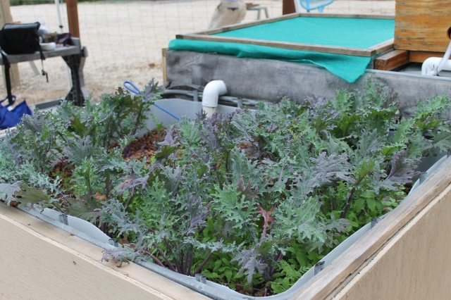 Kale growing in our media bed