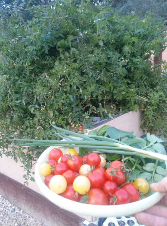 Tomato harvest... In December
